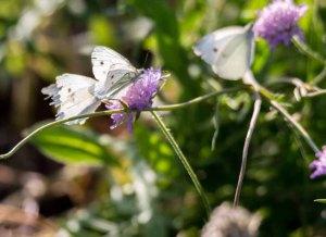 Kohlweißlinge auf den Blüten der Acker-Witwenblumen (c) Frank Koebsch (8)
