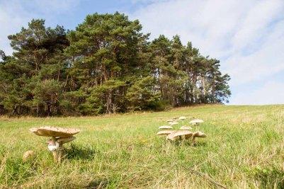 Schirmpilze auf den Wiesen der ZIckerschen Berge (c) Frank Koebsch