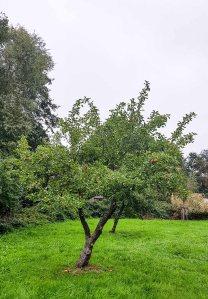 Apfelbaum im Park hinter dem Kunstmuseum Schwaan (c) Frank Koebsch (1)