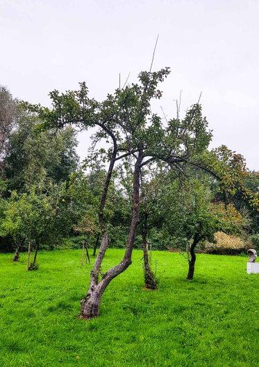 Apfelbaum im Park hinter dem Kunstmuseum Schwaan (c) Frank Koebsch (2)