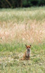 Fuchs auf den Feldern bei Sanitz (c) FRank Koebsch (1)