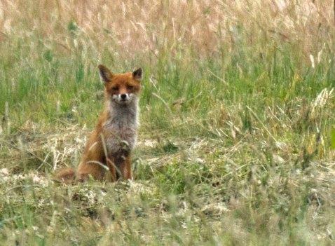 Fuchs auf den Feldern bei Sanitz (c) FRank Koebsch (2)