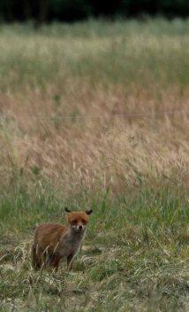 Fuchs auf den Feldern bei Sanitz (c) FRank Koebsch (3)