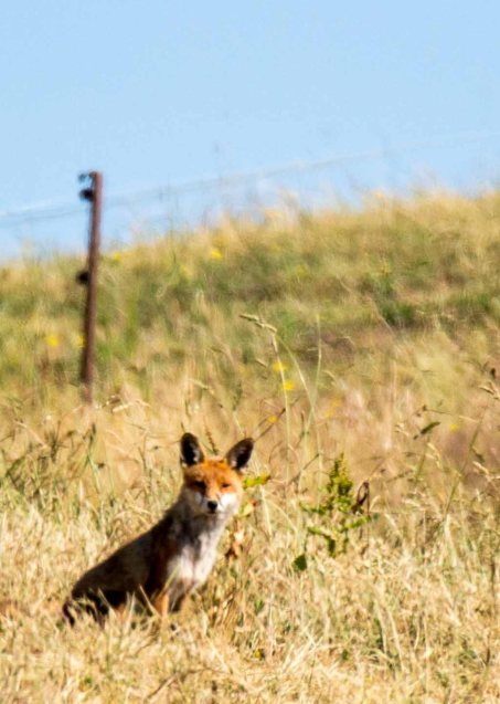 Fuchs auf den Recknitzwiesen (c) Frank Koebsch (11)