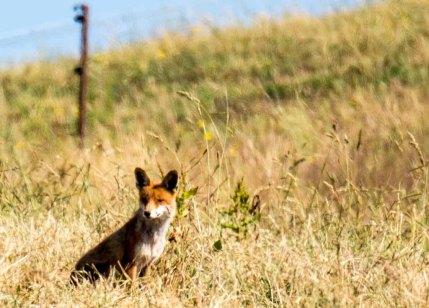 Fuchs auf den Recknitzwiesen (c) Frank Koebsch (19)