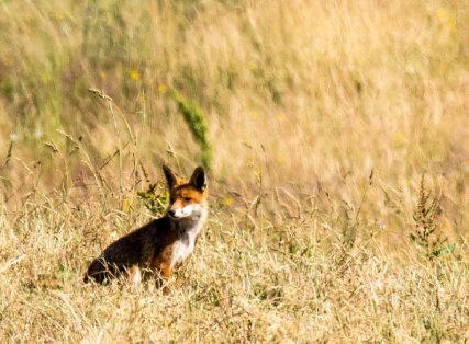 Fuchs auf den Recknitzwiesen (c) Frank Koebsch (7)