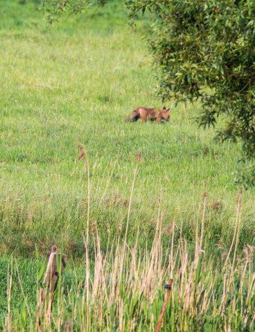 Fuchs auf Entdeckungstour auf den Wiesen beim Lüsewitzer See (c) FRank Koebsch (1)