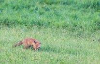 Fuchs auf Entdeckungstour auf den Wiesen beim Lüsewitzer See (c) FRank Koebsch (3)