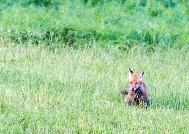 Fuchs auf Entdeckungstour auf den Wiesen beim Lüsewitzer See (c) FRank Koebsch (4)