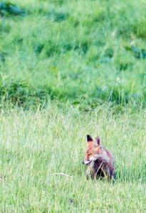Fuchs auf Entdeckungstour auf den Wiesen beim Lüsewitzer See (c) FRank Koebsch (5)