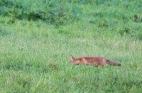 Fuchs auf Entdeckungstour auf den Wiesen beim Lüsewitzer See (c) FRank Koebsch (6)
