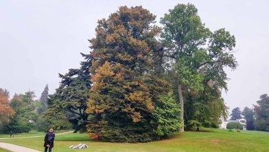 Herbstliche Baumriesen in Schhloßpark Putbus (c) Frank Koebsch