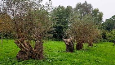 Kopfweiden im Park hinter dem Kunstmuseum Schwaan (c) Frank Koebsch
