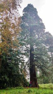 Mamutbaum im Schloßpark von Putbus (c) Frank Koebsch