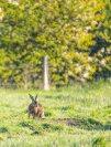 Hase auf einer Weide bei Middelhagen (c) Frank KOebsch (1)