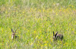 Hasen auf den Wiesen am Neuwarper See (c) Frank Koebsch (1)