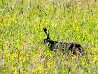 Hasen auf den Wiesen am Neuwarper See (c) Frank Koebsch (3)