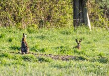 Hasen auf einer Weide von Middelhagen (c) Frank Koebsch (1)