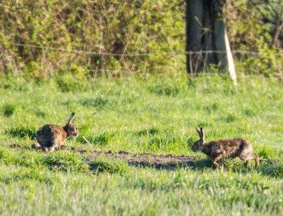 Hasen auf einer Weide von Middelhagen (c) Frank Koebsch (2)
