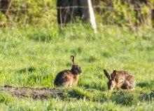 Hasen auf einer Weide von Middelhagen (c) Frank Koebsch (3)