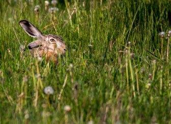 Versteckspiel mit einem Hasen auf den Wiesen von Brodersdorf (c) FRank Koebsch (1)