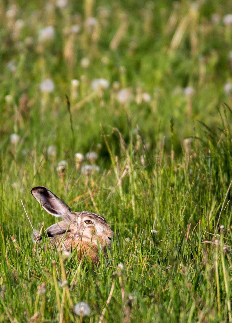 Versteckspiel mit einem Hasen auf den Wiesen von Brodersdorf (c) FRank Koebsch (2)