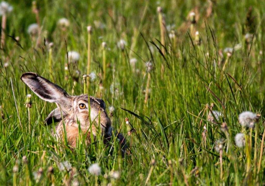 Versteckspiel mit einem Hasen auf den Wiesen von Brodersdorf (c) FRank Koebsch (3)