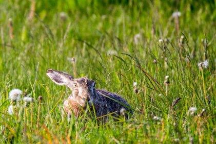 Versteckspiel mit einem Hasen auf den Wiesen von Brodersdorf (c) FRank Koebsch (4)