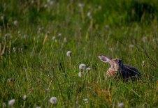 Versteckspiel mit einem Hasen auf den Wiesen von Brodersdorf (c) FRank Koebsch (5)