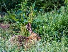Versteckt - nur die Ohren eines Hasen (c) Frank Koebsch (4)