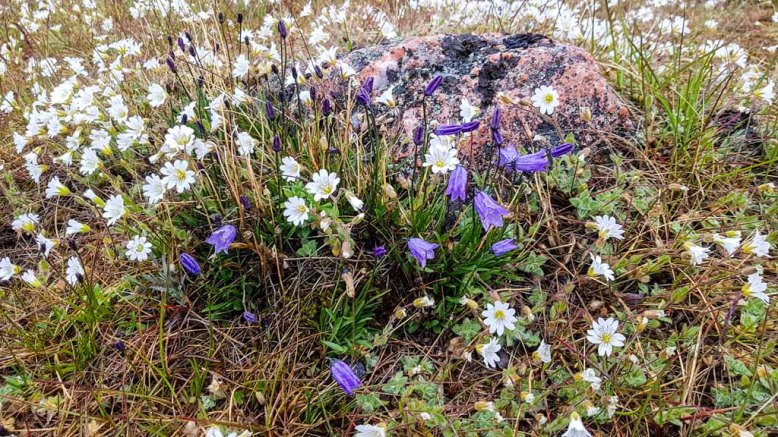 Alpen-Hornkraut und Glockenblumen an der Diskobucht in Ilimanaq (c) FRank Koebsch (1)