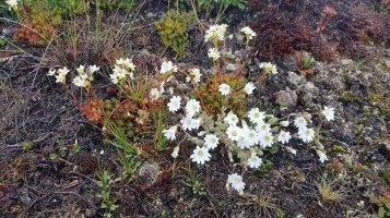 Alpen-Hornkraut und Steinbrech an der Diskobucht in Ilimanaq (c) FRank Koebsch (1)