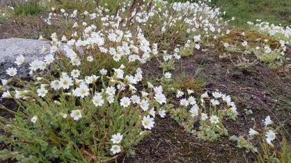 Alpen-Hornkraut und Steinbrech an der Diskobucht in Ilimanaq (c) FRank Koebsch (2)
