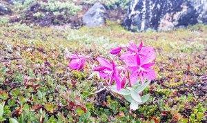 Arktisches Weidenröschen an der Diskobucht in Ilimanaq (c) FRank Koebsch (1)