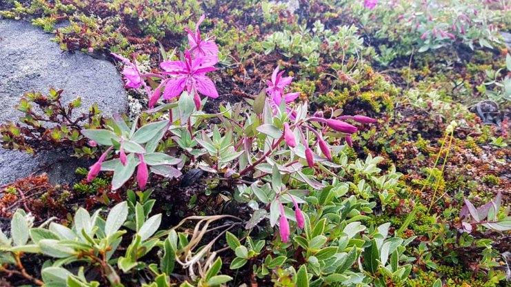 Arktisches Weidenröschen an der Diskobucht in Ilimanaq (c) FRank Koebsch (2)