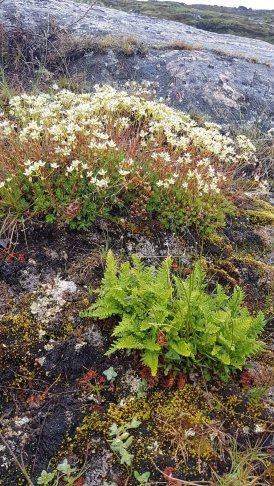 Farn und Steinbrech an der Diskobucht in Ilimanaq (c) FRank Koebsch (1)