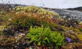 Farn und Steinbrech an der Diskobucht in Ilimanaq (c) FRank Koebsch (2)