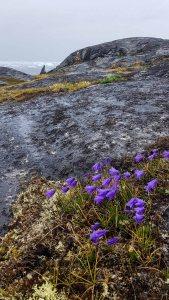 Glockenblumen an der Diskobucht in Ilimanaq (c) FRank Koebsch (2)