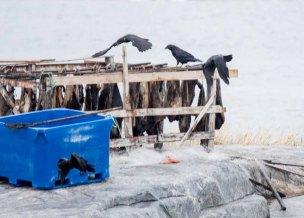 Krähen naschen Trockenfisch in Ilimanaq an der Diskobucht (c) Frank Koebsch (1)