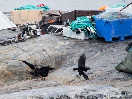 Krähen streiten sich um Trockenfisch in Ilimanaq an der Diskobucht (c) Frank Koebsch (1)