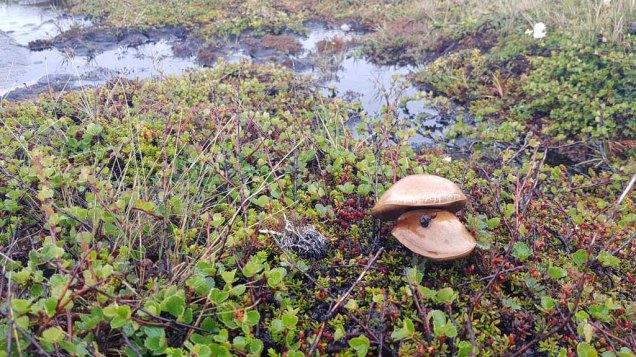 Pilze auf den Felchten und Moosen an der Diskobucht in Ilimanaq (c) Frank Koebsch