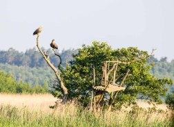 Seeadler auf den Wiesen am Neuwarper See (c) Frank Koebsch (2)