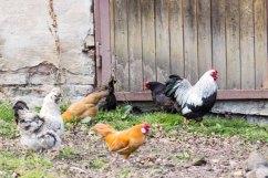 Hühner an der Wolfsberger Mühle (c) FRank Koebsch (1)