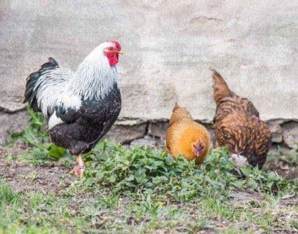 Hühner an der Wolfsberger Mühle (c) FRank Koebsch (2)