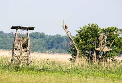 Seeadler auf den Wiesen am Neuwarper See (c) Frank Koebsch (6)