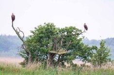 Seeadler auf den Wiesen am Neuwarper See (c) Frank Koebsch (8)