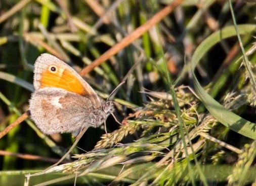 Kleines Wiesenvögelchen (c) FRank Koebsch (1)
