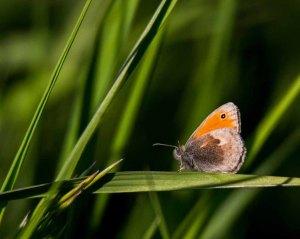 Kleines Wiesenvögelchen (c) FRank Koebsch (5)