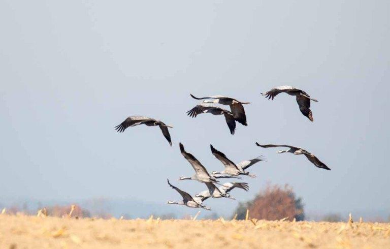 Kraniche im Flug über den Feldern (c) FRank Koebsch