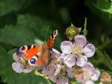 Tagpfauenauge auf den Brombeerblüten (c) FRank Koebsch (1)